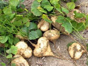 Kỹ thuật trồng củ đậu bằng chậu tại nhà đơn giản, ăn giải nhiệt và bổ dưỡng