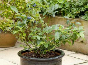 Cách trồng và chăm sóc cây việt quất trong thùng xốp