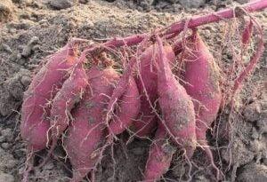 Cách trồng cây khoai lang lấy củ