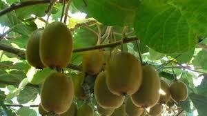 kỹ thuật trồng quả Kiwi
