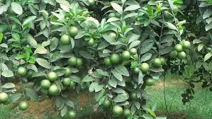 Kĩ thuật trồng chanh sai quả tại nhà