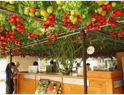 Kỹ thuật trồng cây cà chua