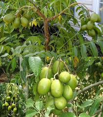 Hướng dẫn trồng cây cóc Thái cực sai quả trong chậu