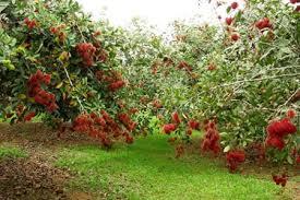Cách chăm sốc cây chôm chôm