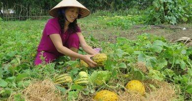 Hướng dẫn trồng và chăm sóc dưa bở tại nhà