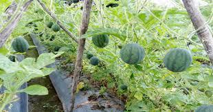 Kỹ thuật trồng dưa hấu leo giàn