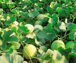Kỹ thuật trồng cây dưa Lê