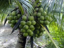 Hướng dẫn kỹ thuật trồng dừa dứa sai trái