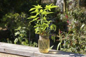 Cách trồng cây khoai lang xinh xắn hot tren để bàn làm việc đơn giản