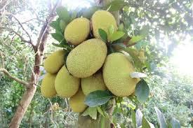 Cách trồng Mít Thái trong chậu phát triển nhanh ra trái