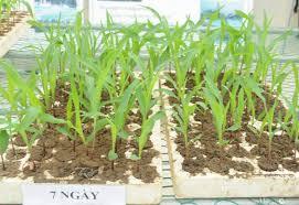 Kỹ thuật trồng Ngô lai