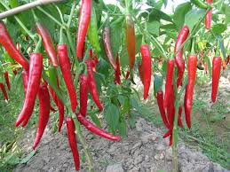 Kỹ thuật trồng và chăm sóc cây ớt