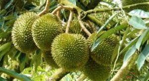 Cách trồng cây sầu riêng đúng kỹ thuật đạt năng suất tối đa
