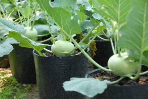 Kỹ thuật trồng rau su hào chịu nhiệt