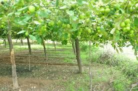Kỹ thuật trồng và bón phân cho cây táo