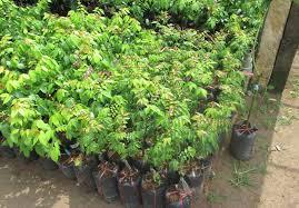 Cách trồng chăm sóc khế chua