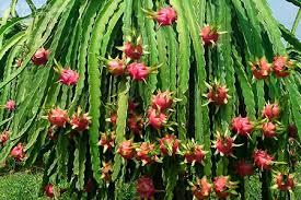 Kỹ thuật trồng, chăm sóc và phòng trị bệnh cây thanh long