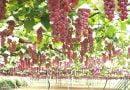 Kỹ thuật trồng và chăm sóc nho