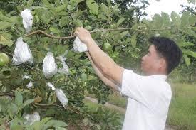 Bắc ninh sử dụng xốp lưới bao trái cây hiệu quả