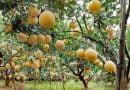 Kỹ thuật trồng và chăm sóc cây bưởi